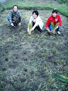 手で稲刈り