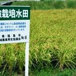 試験栽培水田